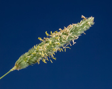 Inflorescence of Canary Grass