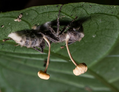 "An ant parasitized by an entomopathic fungus, probably Ophiocordyceps sp.  The fungus causes the infected ant (""zombie ant"") to leave its colony and bite into the underside of a leaf, where the fungus matures and sporulates, to infect another generation of ants."