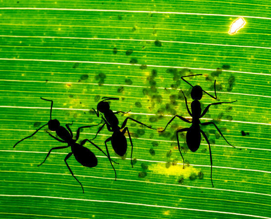 Ants in silhouette tending scale insects.
