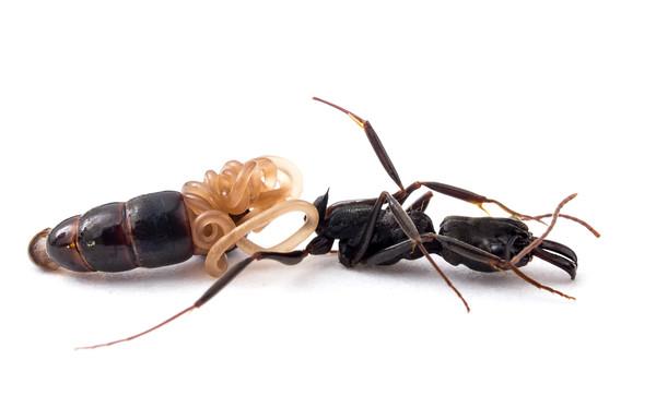 Parasitic nematode