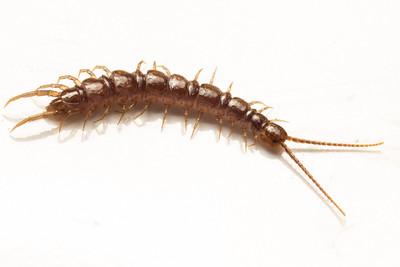 Centipede from detritus, HFOV = 16.8 mm