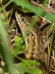Ticks on an alligator lizard