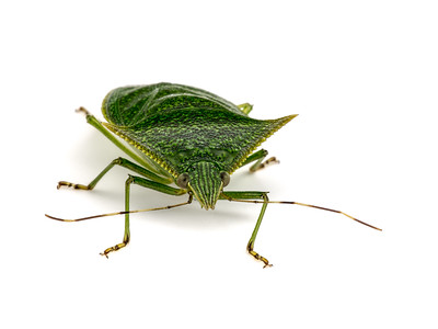 For starters, here are some studio-style photos taken in an inexpensively constructed lightbox.  This is a plant bug.