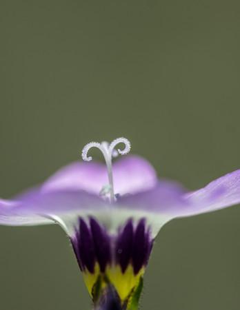 Bird's Eye Gilia